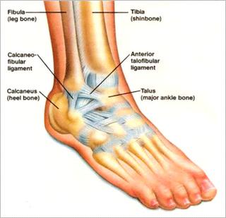 ankle pain - boca raton chiropractor dr. brett goldstein, Skeleton